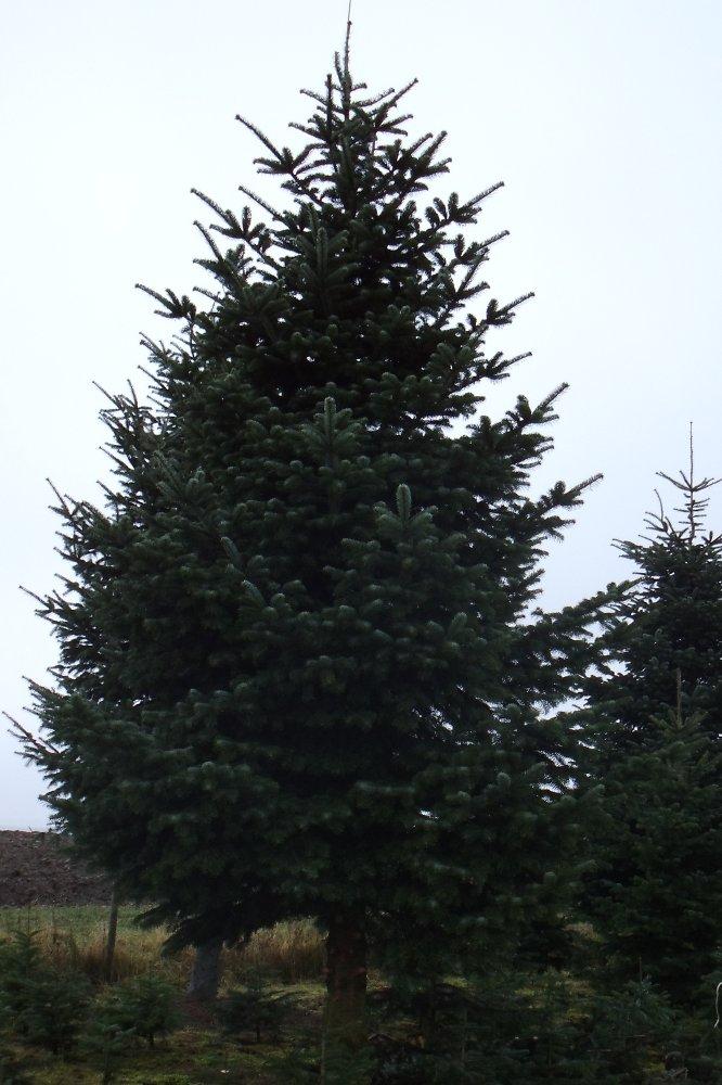 Weihnachtsbaum 4 meter preis