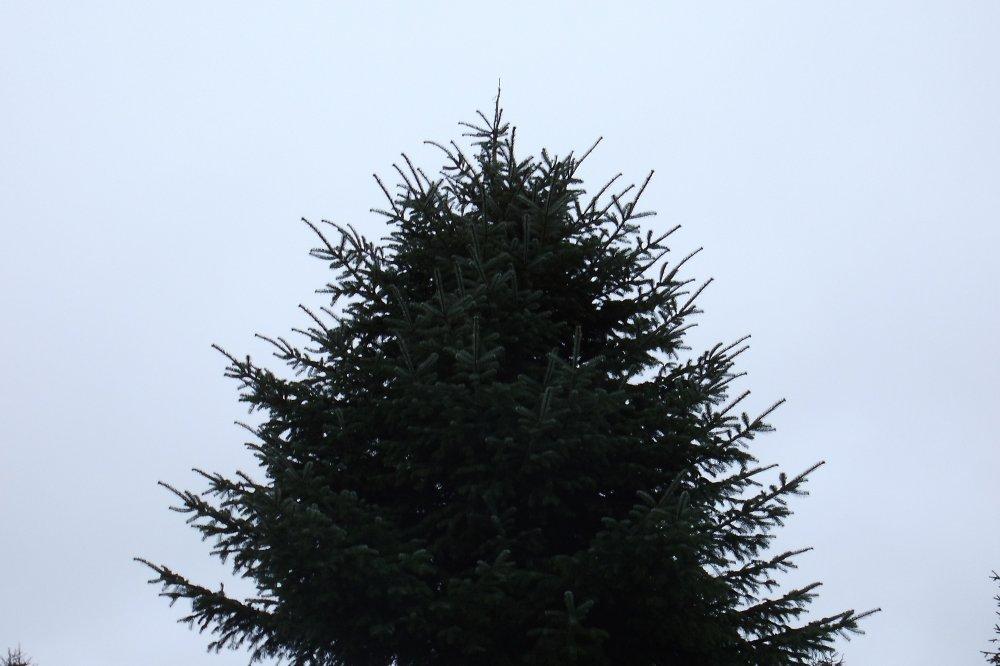 gro er weihnachtsbaum gro b ume vom hofgut martin bei. Black Bedroom Furniture Sets. Home Design Ideas