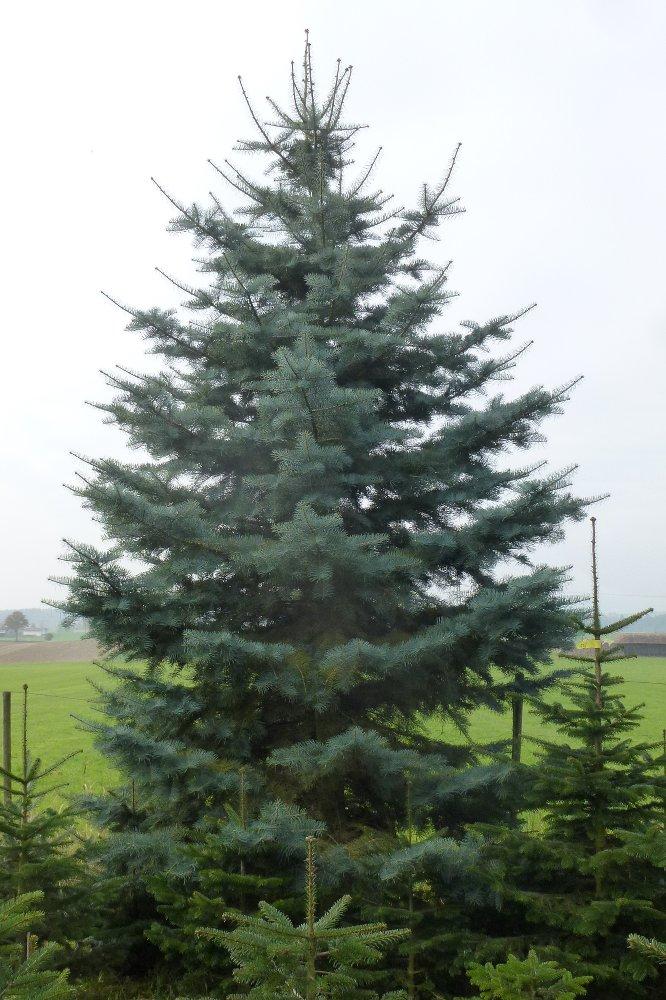 Tannenbaum Preise.Großer Weihnachtsbaum Großbäume Vom Hofgut Martin Bei Ravensburg