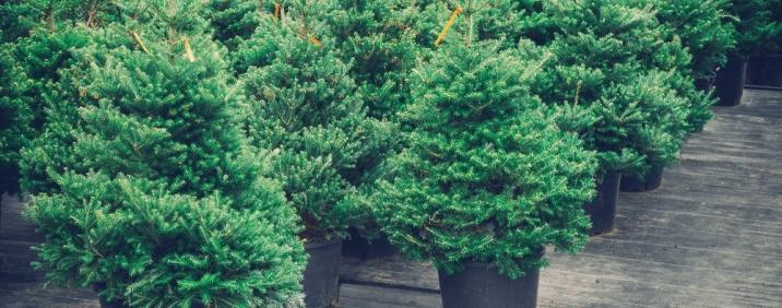 Weihnachtsbaum im Topf vom Hofgut Martin bei Ravensburg