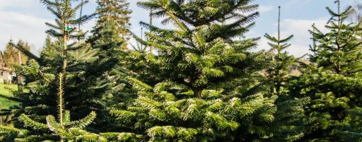 Regional & Nachhaltig - Weihnachtsbäumen vom Hofgut Martin in Oberschwaben