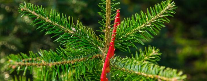 Weihnachtsbäume aus Oberschwaben für den Großhandel