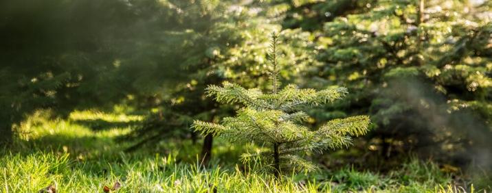 Anbau von Weihnachtsbäumen / Christbäumen
