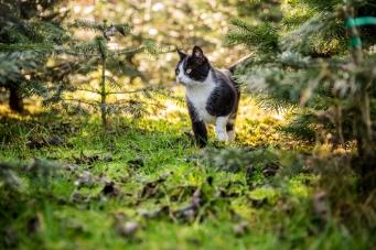 Weihnachtsbäume aus Wäldern in Oberschwaben - Katze