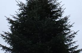 """Großbaum #1 """"Nordmanntanne"""" - ca. 8 m - formschön - hohe Dichte - Preis auf Anfrage"""