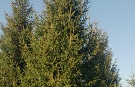 """Großbaum #11 """"Rotfichte"""" - ca. 15 m - kegelform - mittlere Dichte - Preis auf Anfrage"""