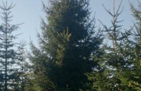 """Großbaum #12 """"Rotfichte"""" - ca. 11 m - formschön - mittlere Dichte - Preis auf Anfrage"""
