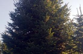 """Großbaum #5 """"Nordmanntanne"""" - ca. 11 m - formschön - hohe Dichte - Preis auf Anfrage"""
