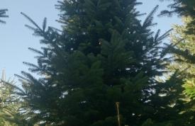 """Großbaum #13 """"Nordmanntanne"""" - ca. 7 m - formschön - mittlere Dichte - Preis auf Anfrage"""