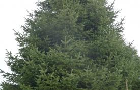 """Großbaum #13 """"Nordmanntanne"""" - ca. 10 m - perfekte Form - hohe Dichte - Preis auf Anfrage"""