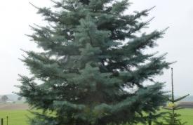 """Großbaum #3 """"Concolor Tanne"""" - ca. 5 m - perfekte Form - mittlere Dichte - Preis auf Anfrage"""