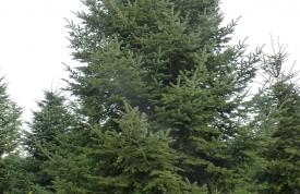 """Großbaum #4 """"Nordmanntanne"""" - ca. 9 m - formschön - mittlere Dichte - Preis auf Anfrage"""