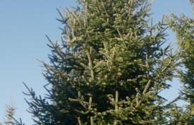 """Großbaum #8 """"Nordmanntanne"""" - ca. 10 m - schlank - mittlere Dichte - Preis auf Anfrage"""