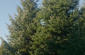 """Großbaum #9 """"Nordmanntanne"""" - ca. 12 m - kegelform - volle Dichte - Preis auf Anfrage"""