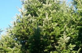 """Großbaum #6 """"Nordmanntanne"""" - ca. 7 m - formschön - hohe Dichte - Preis auf Anfrage"""