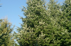 """Großbaum #10 """"Nordmanntanne"""" - ca. 8 m - schlank - volle Dichte - Preis auf Anfrage"""