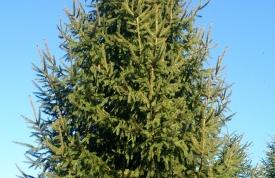 """Großbaum #7 """"Rotfichte"""" - ca. 12 m - schlank - mittlere Dichte - Preis auf Anfrage"""
