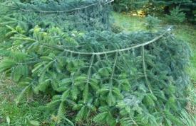 Schnittgrün aus Region Oberschwaben - frisch geschnitten