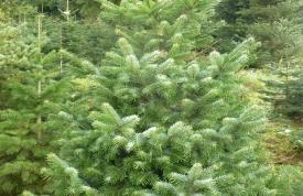Weihnachtsbäume für Großhandel vom Hofgut Martin