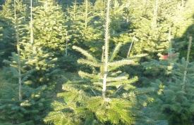 Weihnachtsbaum Anlagen in Oberschwaben