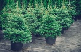 Weihnachtsbaum m Topf vom Hofgut Martin