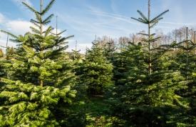Tannenbaum Selber Schlagen.Weihnachtsbaum Selber Schlagen Bei Ravensburg Oberschwaben