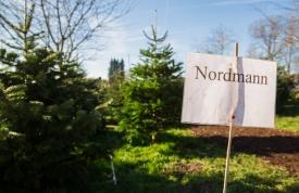 Nordmanntanne kaufen beim Hofgut Martin, Grünkraut, Ravensburg