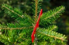 Weihnachtsbaum Pflege im Wald