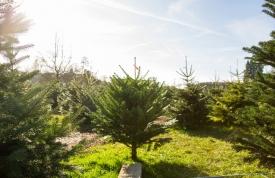 Weihnachtsbaum zum selber schlagen - Hofgut Martin, Ravensburg