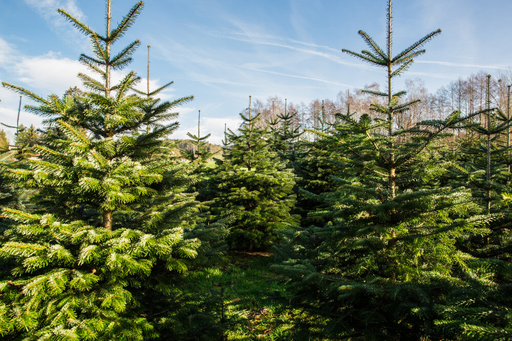 Weihnachtsbaum Selber Schlagen Sauerland.Weihnachtsbäume Für Großhandel Wiederverkäufer Aus Oberschwaben